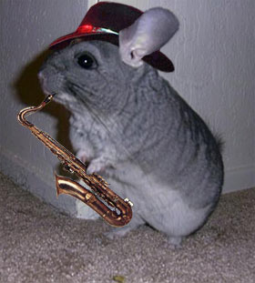 clever chinchilla with hat